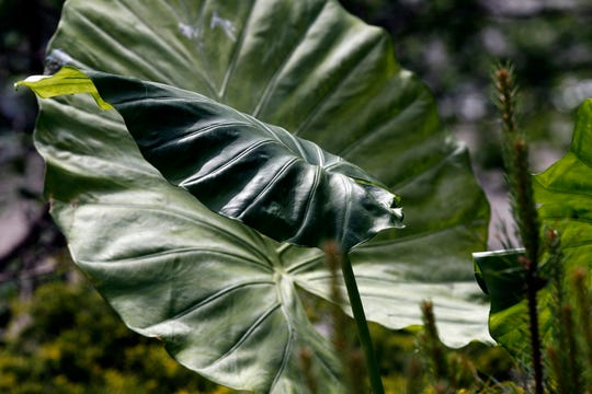 """Colocasia esculenta is a tropical plant with large leaves; hence the nickname """"elephant ears."""""""