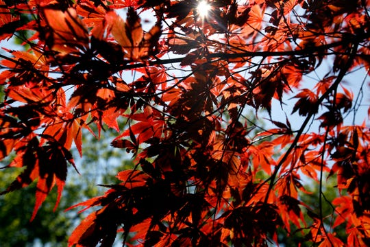 This Japanese maple is called Bloodgood.