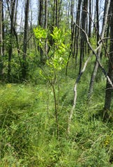 In a sign of regeneration, a young ash tree grows in an area of Potawatomi State Park in Door County that has been infested with the emerald ash borer.