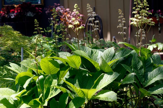 Rodgersia Pinnata, a favorite of homeowners Angela Ducket and Steve Bialk, is a flowering plant native to China.