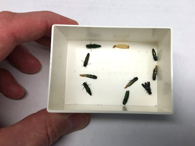 Emerald ash borers are shown in their insect stage. They survived briefly after they were removed as larvae from infected ash trees in Brookfield last winter.
