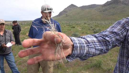 Dried cheatgrass, an invasive species overtaking much of the western rangelands, shown on May 15, 2019 in Elko County, Nevada.
