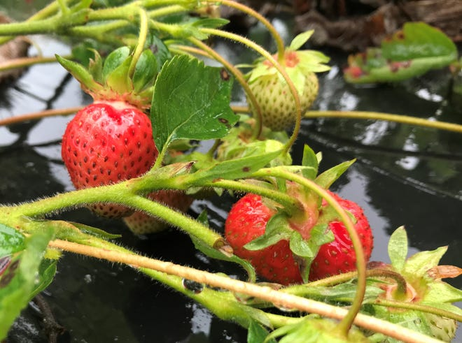 Strawberries ripen on the vine at Mendon Acres on June 16, 2019.