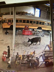 A cow was caught on surveillance cameras Monday inside the Ozark school district's transportation center.