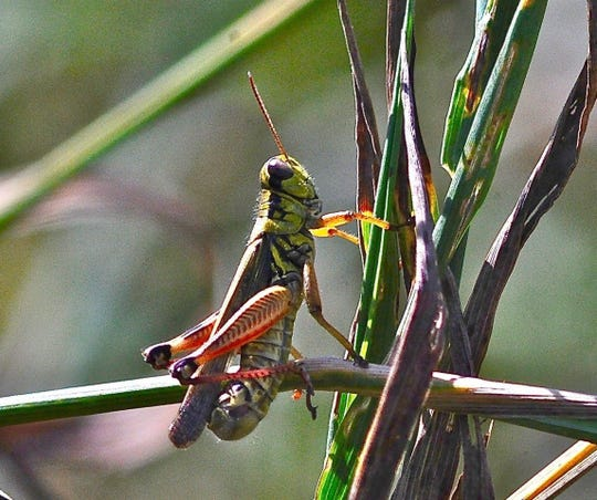 Grasshoppers are swarming Las Vegas, but they're harmless and will soon be on their way.
