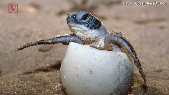 Police saw a woman 'stomping' around a sea turtle nest at Miami Beach. She's in jail now