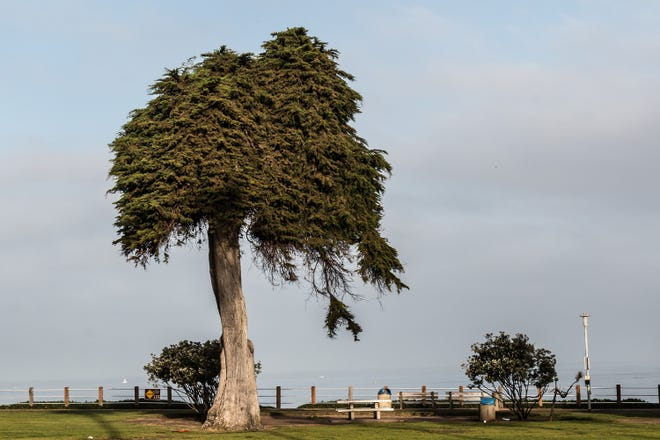 The Monterey Cypress tree at Ellen Browning Scripps Park in La Jolla, Calif. fell last week. The tree was believed to have inspired Dr. Seuss' 'The Lorax.'