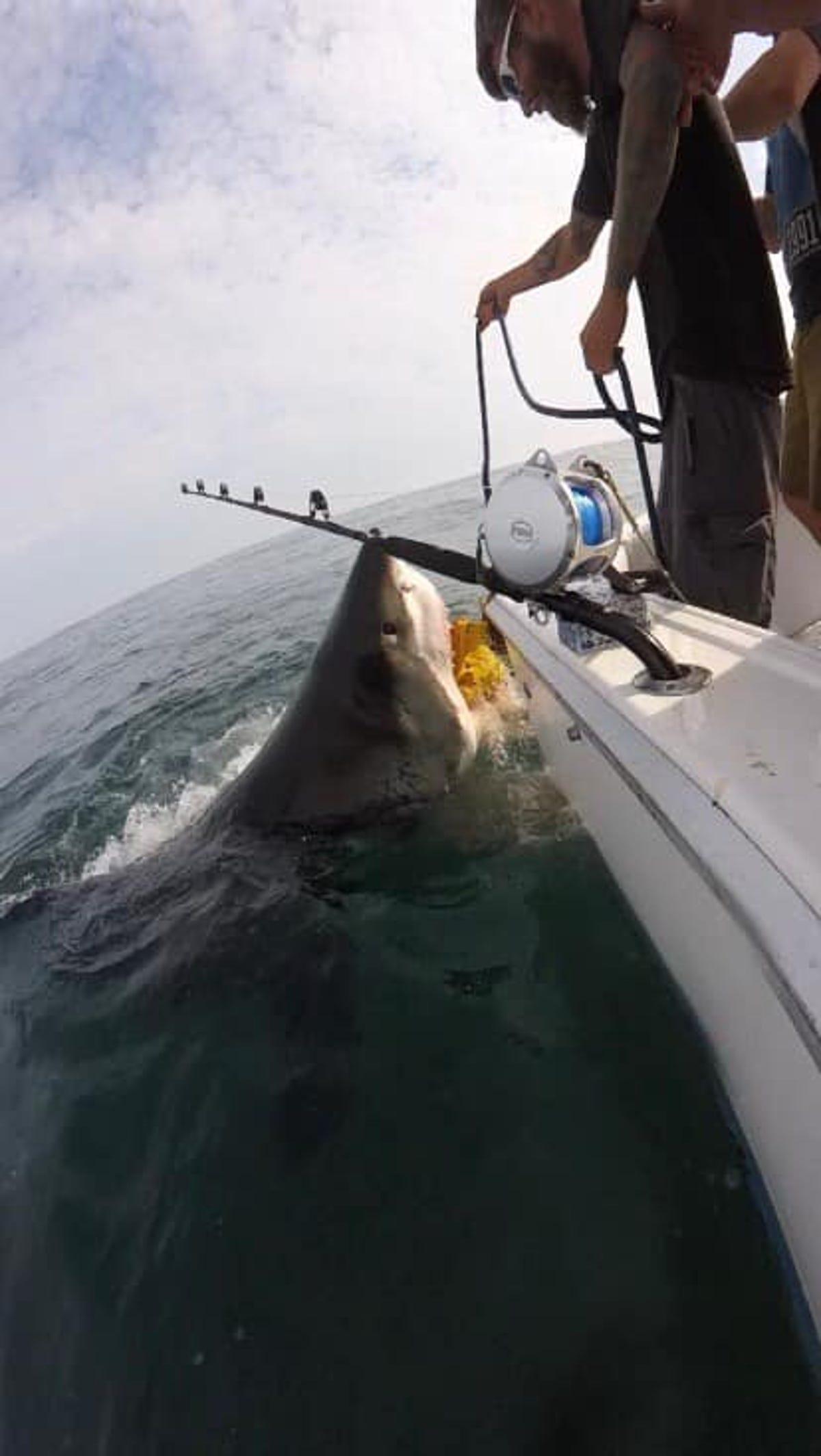 Great white shark surprised NJ boaters, gets named Sherri