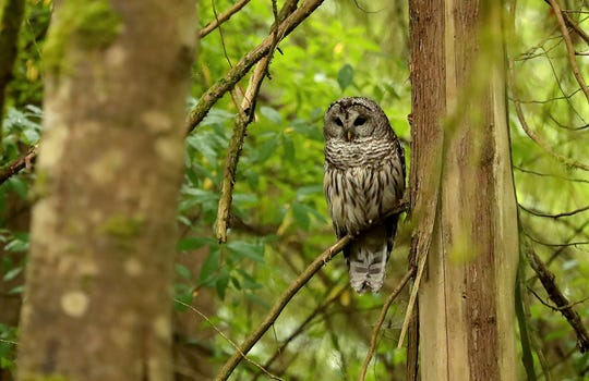A barred owl looks for a meal from its perch on a low hanging branch near Brownsville on Tuesday, June 18, 2019.