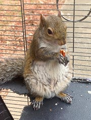 """Alabama investigators say a man kept the caged """"attack squirrel"""" in his apartment and fed it methamphetamine to ensure it stayed aggressive."""