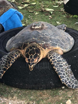 A hawksbill turtle is pictured with an old satellite tag before its release back into Guam's waters. This turtle was originally captured and satellite tagged in 2016, recaptured in 2017 and then recaptured again this year. The satellite tag was removed this year. Sea turtles were tagged and released into Guam's waters last week in efforts to track the endangered species' movements, according to the Guam Department of Agriculture.