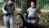 Watch as TWRA captures a yearling bear captured at Morningside Park in Knoxville.