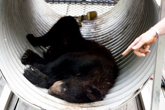 A small yearling black bear was tranquilized and captured at Morningside Park in Knoxville on  June 18.