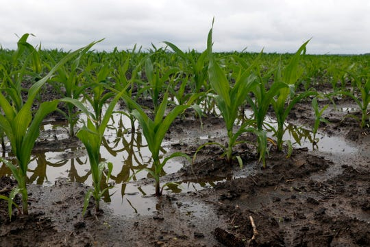 Corn stalks stand in the mud and water Tuesday morning, June 18, 2019, in a field on Canal Road in Pleasant Township.