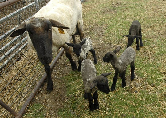Quadruplet lambs at the MSU Sheep Teaching and Research Center.