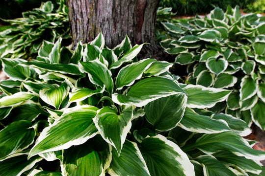 Hostas are among the plants that thrive in total shade. Other good shade plants include brunnera, celandine poppy, hellebores, corydalis, tiarella, epimideum, lungwort, spiderwort, lily-of-the-valley, hardy begonia, and Virginia bluebells.