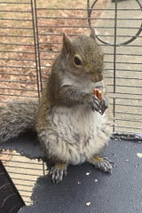 """In this June 2019 photo released by the Limestone County Sheriff's Office, a squirrel is shown in a cage, in Ala. Alabama investigators say a man kept the caged """"attack squirrel"""" in his apartment and fed it methamphetamine to ensure it stayed aggressive."""
