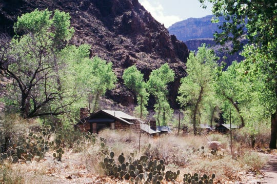 Cottonwoods thrive at Phantom Ranch, the bottom of the Grand Canyon on the Colorado River bank.