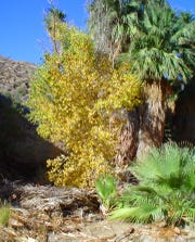 Cottonwoods in fall-color contrast against the green palms in Andreas Canyon.