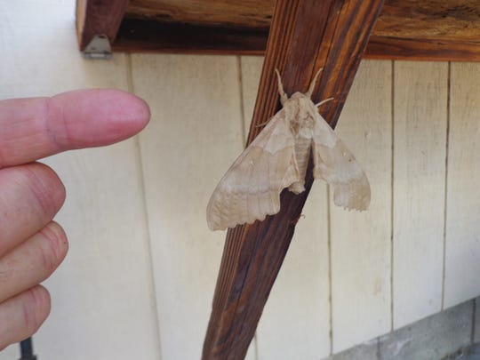 Discovered at a dying cottonwood, the Poplar Moth is the mature form of a larvae that feeds under the bark of poplar species.