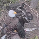 Hanover eagle cam: Viewers witness eaglet fall from nest