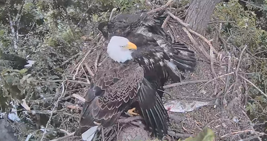 The eagle family reacts after an eaglet fell from the nest on Tuesday, June 18, 2019.