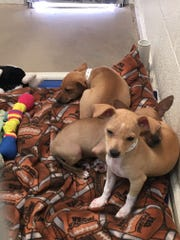 Chihuahuas that were taken from a foreclosed home in Phoenix by the Arizona Humane Society sit in a kennel. Most of the dogs are very fearful of the AHS team.