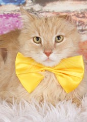 Sebastian is available for adoption at 952 W. Melody Ave. in Gilbert. For more information, call 480-497-8296 or email FFLcats@azfriends.org.