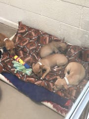 Chihuahuas that were taken from a foreclosed home in Phoenix by the Arizona Humane Society lay down in their bed in a kennel. Most of the dogs are very fearful of the AHS team.