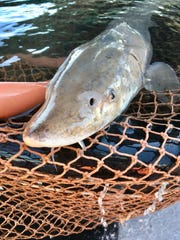 The Michigan Department of Natural Resources conducts a fish research initiative to count fish populations and collect data, including for lake sturgeon.