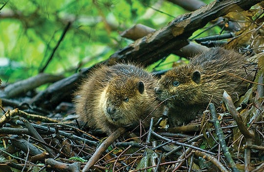 A pair of young beavers perch atop their lodge in a Nanticoke River wetland.