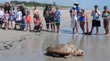 Caitlin Bovery, sea turtle rehabilitation assistant coordinator at Gumbo Limbo Nature Center, talks about working with Inwater Research Group to rehab sea turtle Zabini.