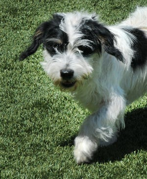 Barkley is an 8-month-old, male, terrier/mix puppy looking for his forever home. He is a happy-go-lucky pup that loves everybody. You can find Barkley with his friends at the Wichita Falls Animal Service Center located on Hatton Rd.