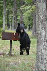A black bear checks a grill for leftover food at the Humpback Rocks Picnic Area on the Blue Ridge Parkway in Virginia in this photo from 2015.