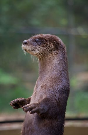 At N.C. State University, scientists this year released two studies on river otters that they plan to use as baselines for future research.