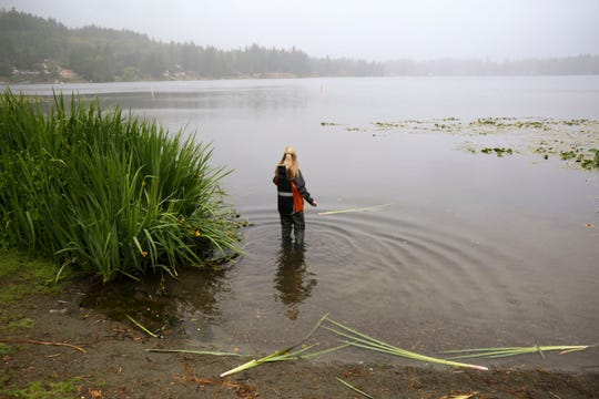 Anne Moen, environmental health technician for Kitsap Public Health District, wades in the water as she scoops up water samples into small glass jars. Water in the jars will be tested for cyanobacteria.