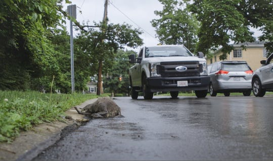Danny Jackson is called out to pick up a raccoon that was left dead in the street.