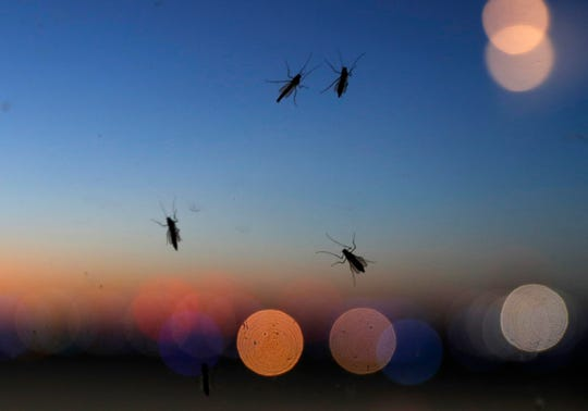 """Blind mosquitoes, or aquatic midges are seen on a window at sunset at New Orleans Lakefront Airport in New Orleans, Tuesday, June 18, 2019. Billions of mosquito lookalikes are showing up in the New Orleans area, blanketing car windshields, littering the ground with bodies and even scaring some folks. They're aquatic midges, also called """"blind mosquitoes,"""" but these flies don't bite. However, the Motorist Assistance Patrol on the 24-mile-long Lake Pontchartrain Causeway has been stocking extra water to slosh down windshields. (AP Photo/Gerald Herbert)"""