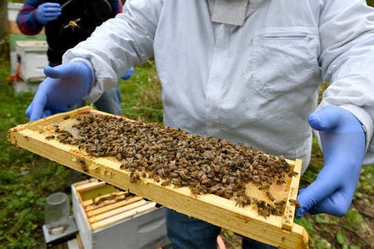 A man holds a frame removed from a hive box covered with honey bees in Lansing, Mich.