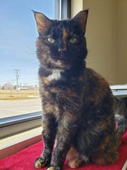 Cori is a tortoise-shell kitty in need of a home.