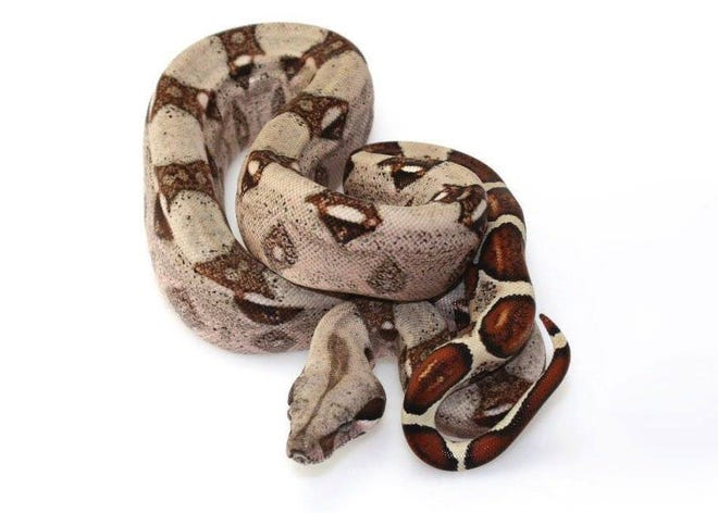 An example of a red tail boa constrictor.
