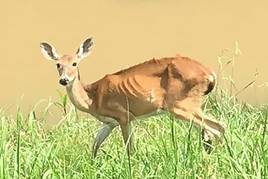 Stranded and starving, an emaciated doe walks along a levee in Warren County where deer stranded by months of flooding have depleted food resources.
