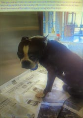 Boston Terrier makes its way back to owners after being lost for 4 days