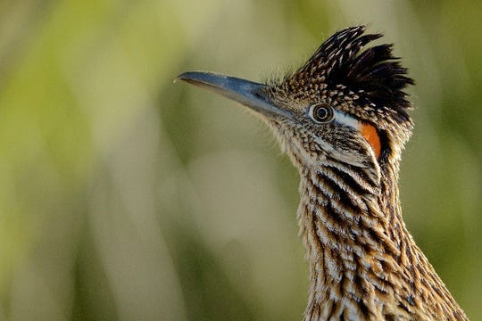 The Great Roadrunner is not shy around visitors at Sunnylands Center & Garden