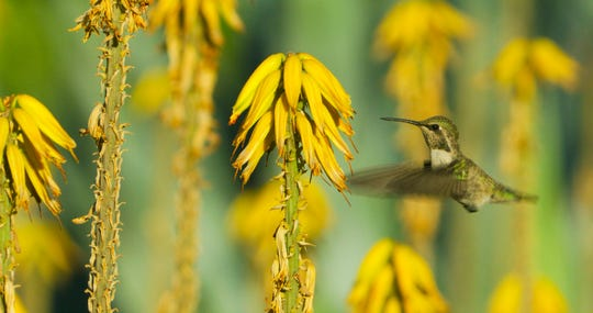 A hummingbird caught in action while it beats its wings and inspects a stalk of aloe vera.