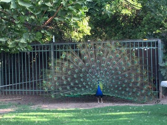 Mr. Blue, a peacock, graces the backyard.
