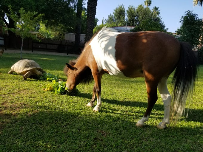 Annabelle the mini-horse and sidekick Shelly the sulcate enjoying fresh swiss chard from the gardens.