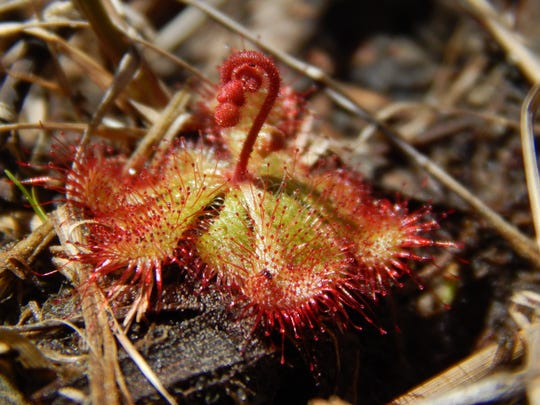 Botanists recently confirmed the discovery of a dwarf sundew plant in Worcester County, making it the first one to be spotted in Maryland.