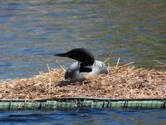 Floating, manmade nesting platforms are readily utilized by our Minnesota state bird.