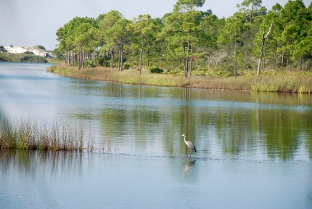 A blue heron wading in one of 30A's dune lakes that has high sand dunes separating it from the Gulf of Mexico. Photo by Brenda Buchan.